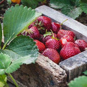 Bio-Vegane Erdbeeren der PfalzBio