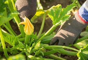 Zucchinianbau PfalzBio