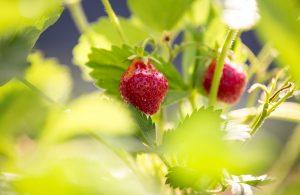Bio-Vegane Erdbeeren