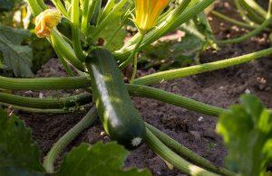 Bio-Veganer Zucchini