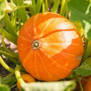 Bio-Veganer Hokkaido, PfalzBio
